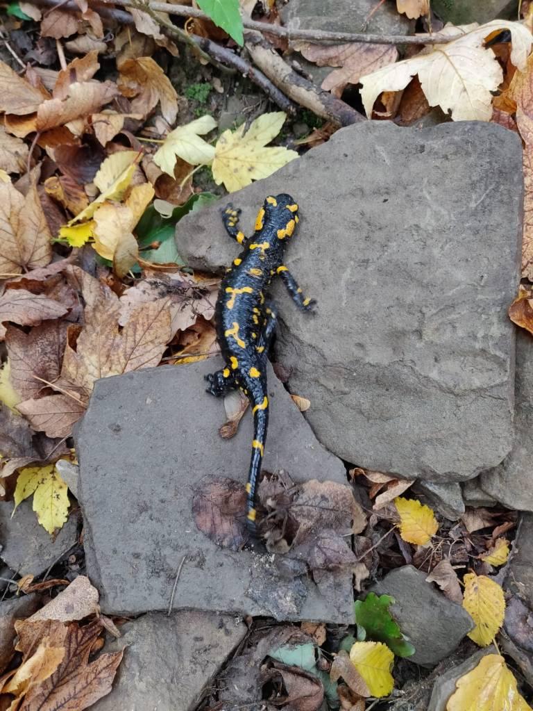 Wald-feuersalamander-oesterreich
